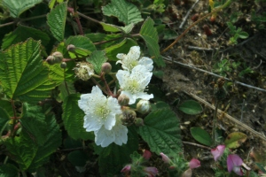 The Dewberry, often found along coastlines, has a creeping habit and less thorny stems and a juicy fruit of a few big 'drupes' with a bloom like grapes.