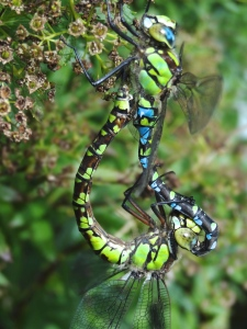 A paid of Emperor Dragonflies mating
