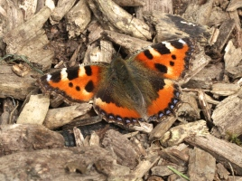Number 4 on the 2014 Big Butterfly Count, the Small Tortoiseshell