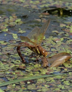 A Brown Hawker Dragonfly laying her eggs in the River Don