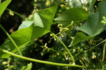 The inconspicuous flowers of Black Bryony, some beginning to form green berries .