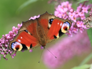 Number 1 in this years Big Butterfly Count- The Peacock