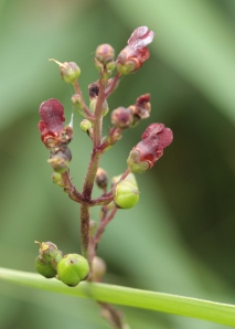 The flowers of Figwort.