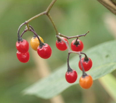 The toxic, egg-shaped berries of Woody Nightshade (Bittersweet)