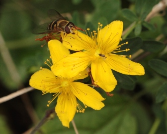 Flowers of Perforated St John's Wort