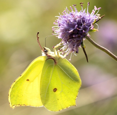 The stunning male Brimstone Butterfly feeding on Devil's Bit Scabious.