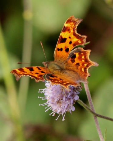 The burnished colours of a Comma Butterfly, feeding on a female flower-head of the Devil's Bit Scabious
