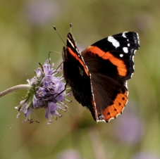 Red Admiral feeding on Devil's Bit Scabious.