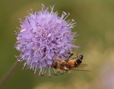 The multiple, four-lobed flowers making up a Devil's Bit Scabious flowerhead. Male- with a Hoverfly feeding.