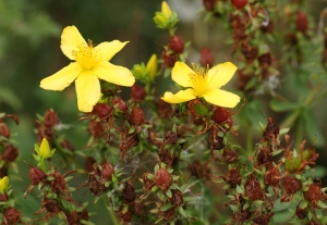 Perforated St John's Wort showing the flower heads, leaves and seed-pods, all of which can be used to make a soothing oil.