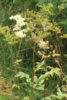 The lovely scented Meadowsweet an old 'strewing herb'