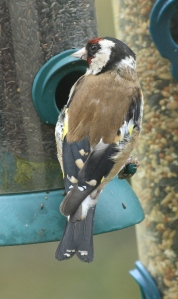 This Goldfinch is still in transition, not yet got its full gold bar on the wings etc