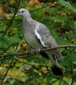 This was one of two young Wood Pigeons which turned up to feed with an adult- the young yet to get their flu head and neck markings.