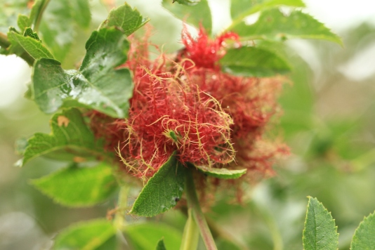 A Robin's Pincushion, the growth of the Gall Wasp that lays its eggs on the Dog Rose.