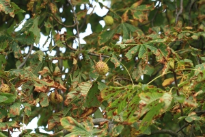 One of the first trees to turn to autumn colours, the Horse Chestnut fruits, Conkers, are ripe now.