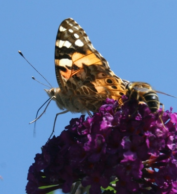 A beautiful Painted Lady butterfly, which migrates to and from the Mediterranean each year.