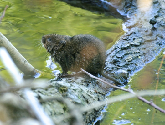 'Ratty' the Water Vole, on the River Derwent