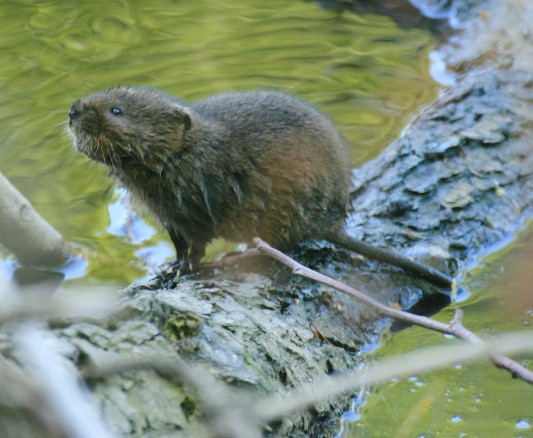 Water Vole, just popped up from a swim across the Derwent