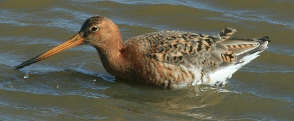 A Godwit, one of the waders whose numbers are swelled in winter, through in-migration.