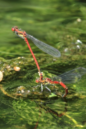 A pair of Red Damselflies, egg-laying after mating.