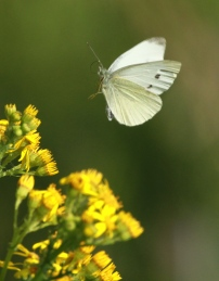Number 3 in The Big Butterfly Count- the Small White