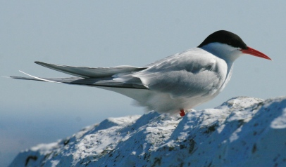 An Arctic Tern, probably the most extraordinary example of migration in the animal world.
