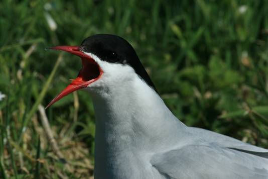 Arctic Terns come here to breed in summer from the Antarctic.