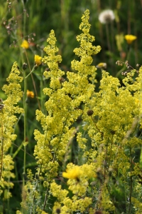 Sulphur-yellow flowers of Ladies Bedstraw, used to stuff the mattresses of women in childbirth.
