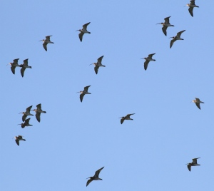 A flock of Curlew spooked by a Peregrine Falcon flying low- not in picture- it was too fast!