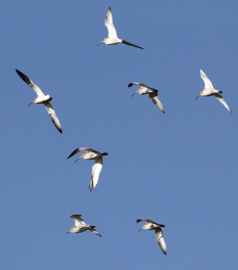 Curlews take to the skies