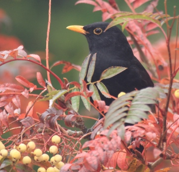 A native male Blackbird on our Joseph Rock Roan