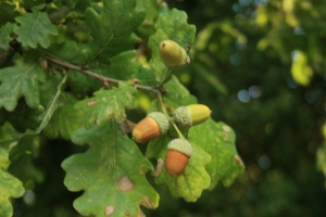 Acorns from last year