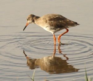 Common Redshank in summer