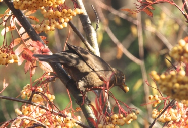 Female Blackbird enjoying the berries in the garden