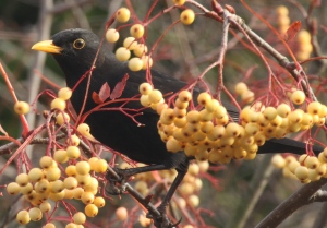 Male Blackbird eating the berries