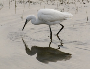 A Little Egret at Dungeness- a bird that now breeds in many wetlands in this country.