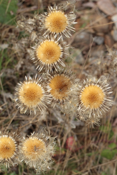 The fascinating Carline Thistle, which grows on many chalky or sandy sites.