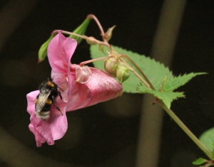 A Bumble Bee feasting on the nectar of Himalayan Balsam, also called 'Policeman's Helmet' due to the shape of the flower.