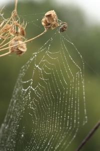 A dew-laden Orb Web slung between dead Hogweed stalks