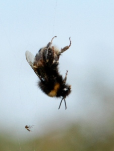 This Bumble Bee, despite it's size and weight, was caught in an Garden Orb Spiders Web