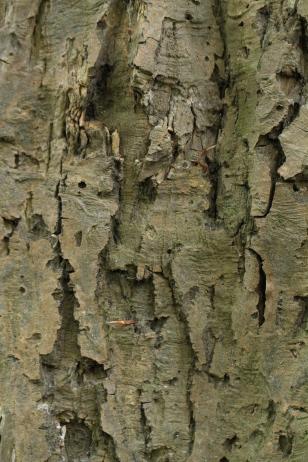 The bark of a large, 'standard' Hornbeam tree.