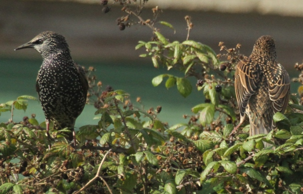 The starling on the right, feeding on blackberries, was born this year and so it's back is still browny-grey.