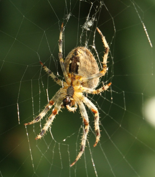 A large Garden Orb Spider from underneath, showing it's mandibles and hairy legs.