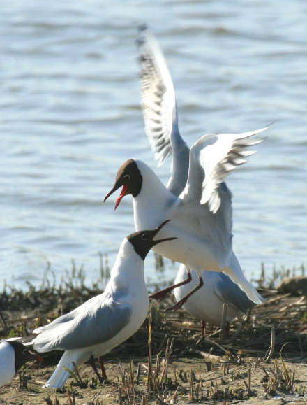Black Headed Gulls in their chocolate-headed summer plumage