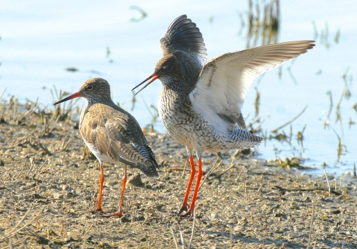 A pair of Common Redshank at breeding time