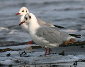 Black Headed Gulls in their winter plumage