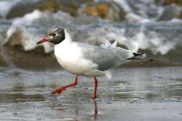 A Black Headed Gull in transition plumage