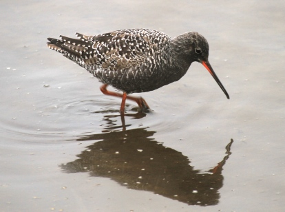 Spotted Redshank, a winter migrant.