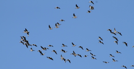 A skein of Pink Footed Geese fly overhead