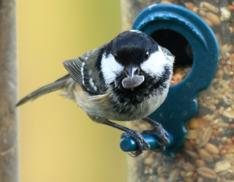 Though Coal Tits will eat most seeds and fats you put out, its favourite is said to be sunflower seeds